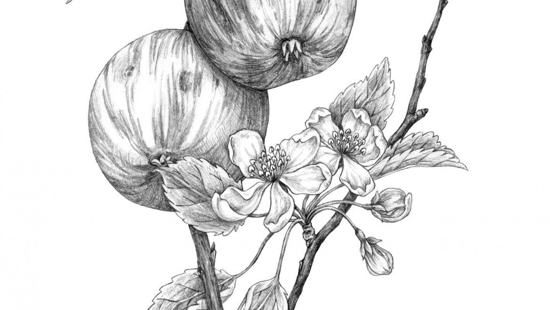 -Pommier (Malus domestica Borkh)-