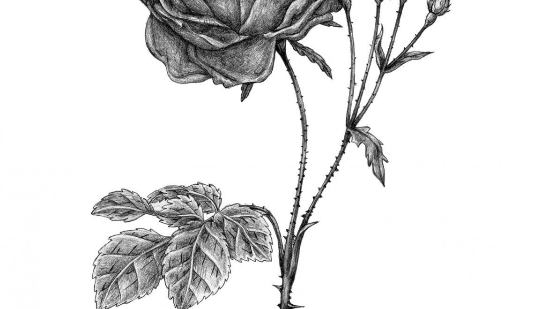 -Rose (Rosa x damascena Herrm.)-