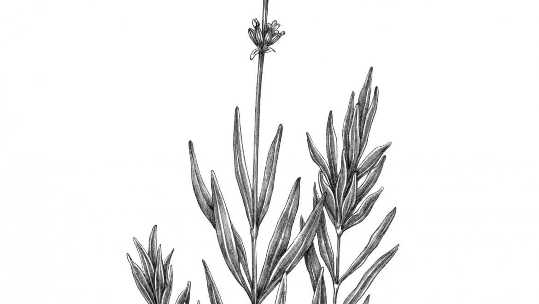 -Lavande (Lavandula angustifolia Mill.)-