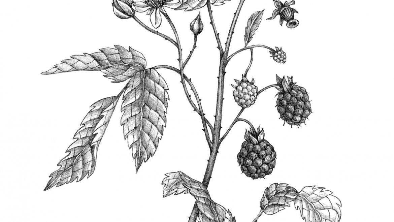 -Framboisier (Rubus idaeus L.)-
