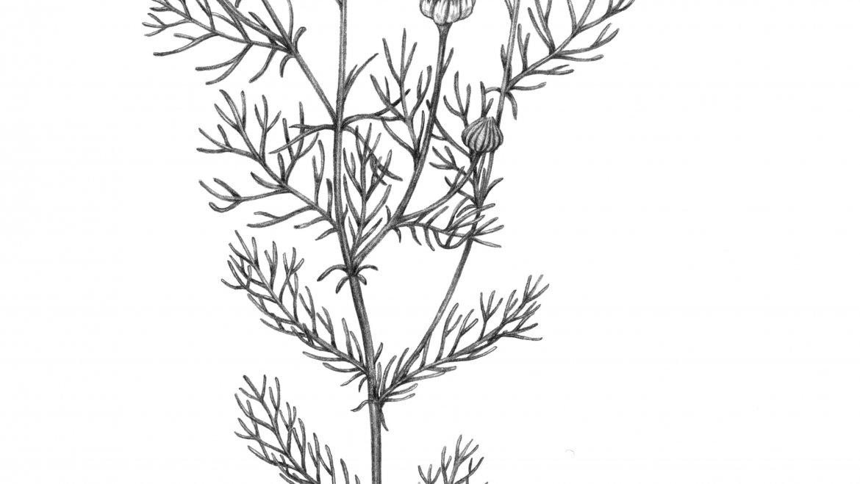 -Matricaire (Matricaria chamomilla L.)-