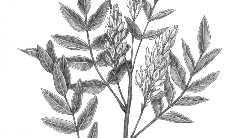 -Réglisse (Glycyrrhiza glabra)-