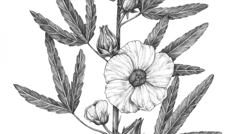 -Hibiscus (Hibiscus sabdariffa L.)-