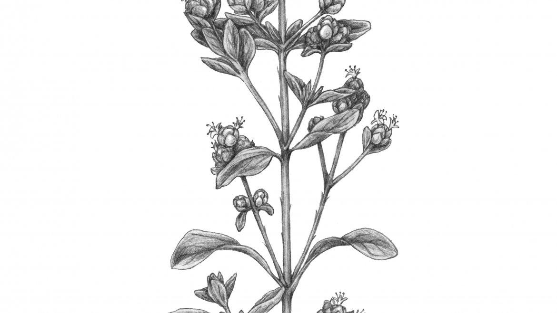 -Marjolaine (Origanum majorana L.)