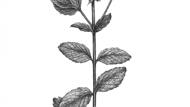 -Menthe douce, verte ou nanah (Mentha spicata L. )