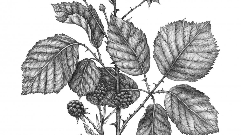 -Ronce (Rubus fruticosus L.)-
