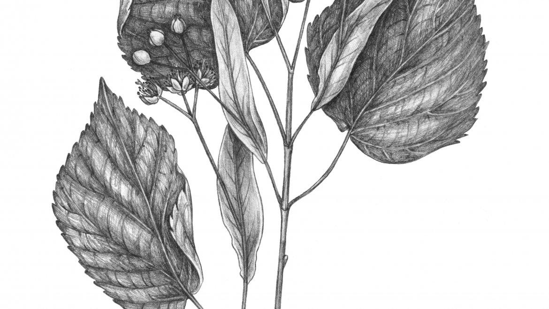 -Tilleul (Tilia platyphyllos Scop.)-