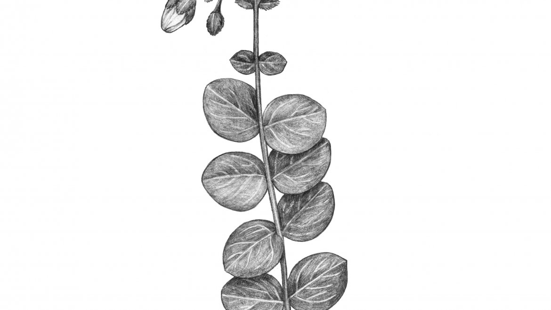 -Vulnéraire des Alpes ou Chartreuse (Hypericum numullarium)-