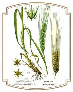 """Au XIIIe la tisane ou tisene était """"décoction d'orge mondé dans laquelle on fait infuser diverses plantes"""""""