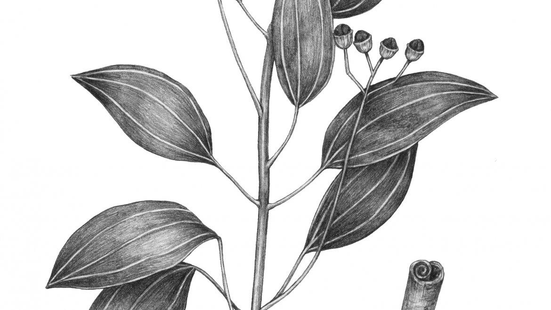 -Cannelle  (Cinnamomum verum J. Presl)-