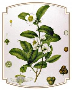 """""""Tout commence par un thé"""", y compris Tisane..."""