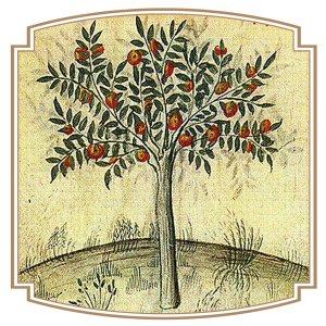 Oranger dans un Tacuinum sanitatis