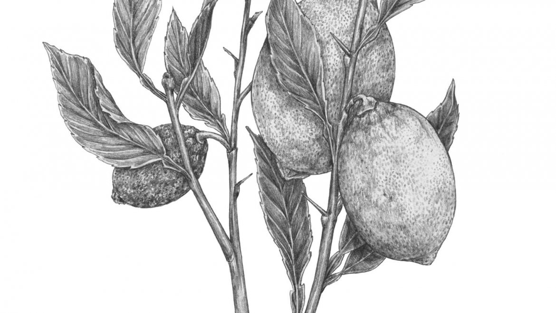 -Citronnier (Citrus limonum)-