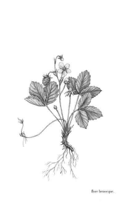-Fraisier (Fragaria vesca L.)-