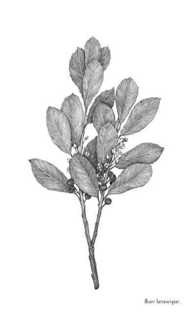 -Maté (Ilex paraguariensis A. St.Hil)-