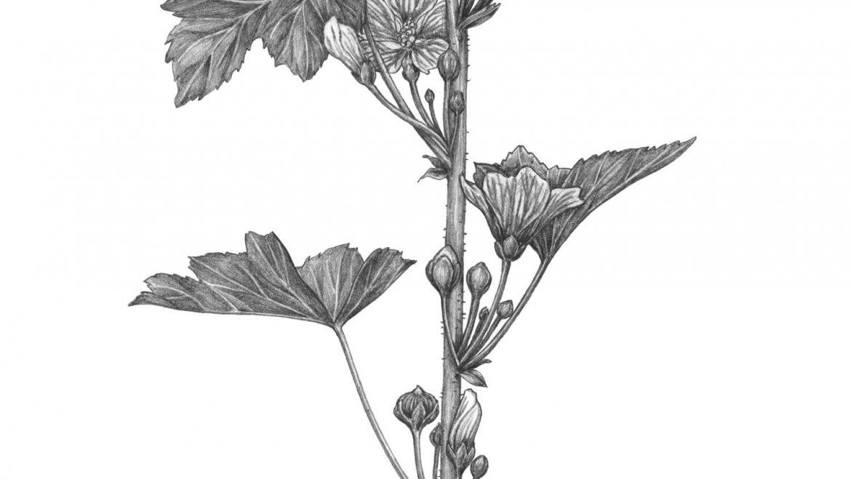 -Mauve des bois (Malva sylvestris L.)-