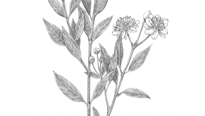 -Myrte (Myrtus communis L.)-