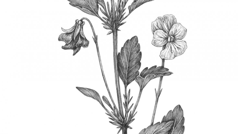 -Pensée sauvage (Viola tricolor L.)-