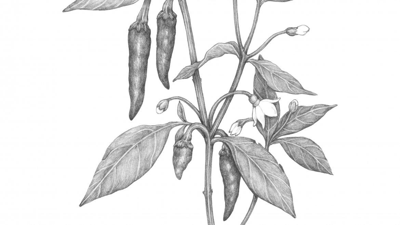 -Piment de Cayenne (Capsicum Frutescens)-