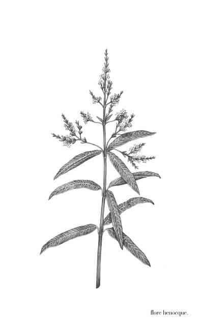 -Verveine odorante ou citronnée (Aloysia citriodora Palau)-
