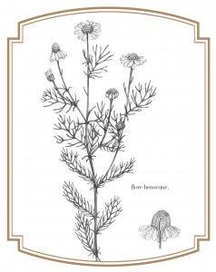 Camomille matricaire illustrée par Flore Hénocque